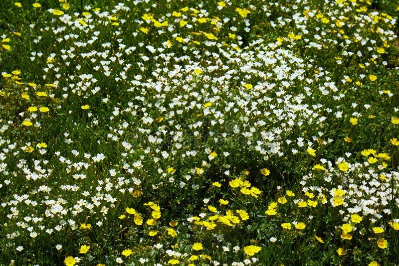 Śródpolni biali i żółci florets zdjęcie stock
