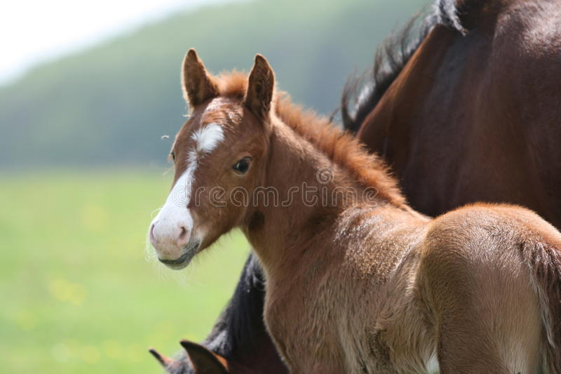 śródpolni konie obrazy royalty free