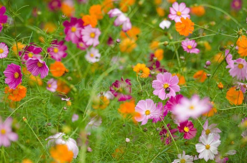 śródpolni kosmosów kwiaty fotografia royalty free