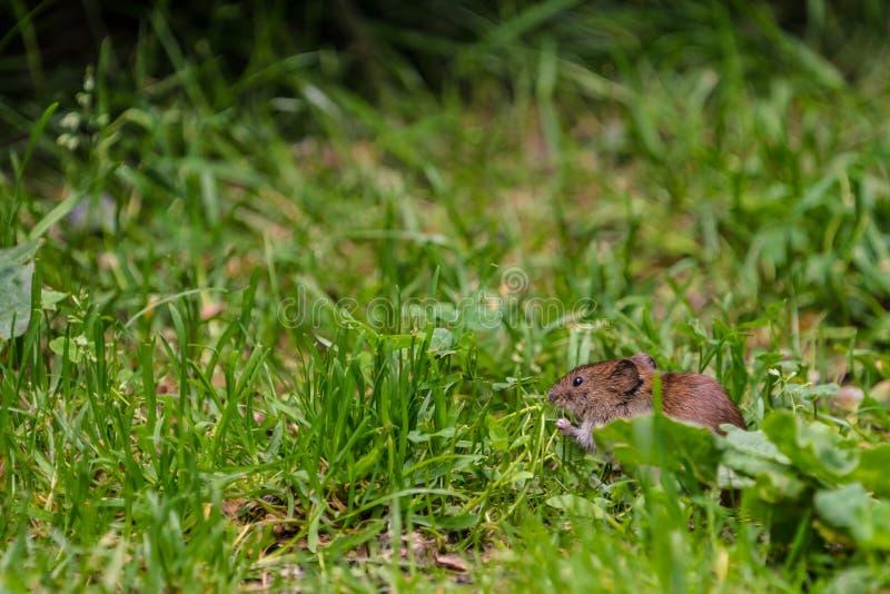 Śródpolni nornicy Microtus agrestis zdjęcia stock
