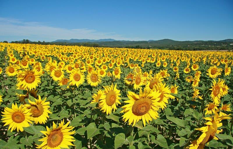 śródpolni słoneczniki zdjęcia royalty free