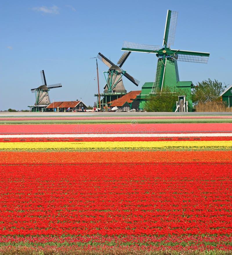 śródpolni tulipanowi wiatraczki zdjęcie royalty free