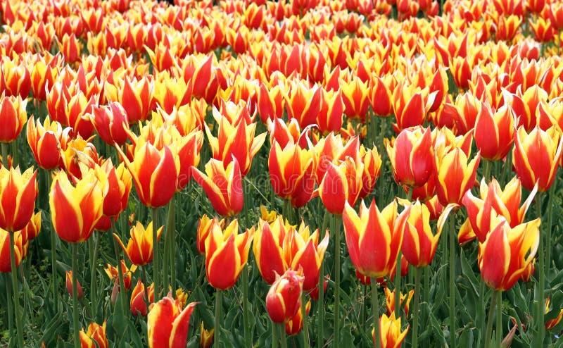 śródpolni tulipany obrazy stock