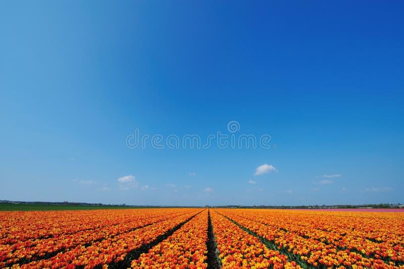śródpolni tulipany zdjęcie royalty free
