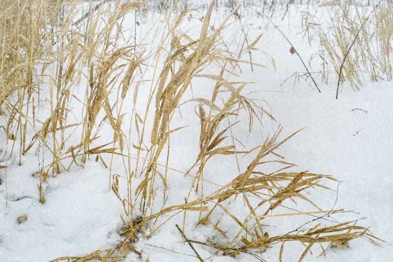 Śródpolni ziele na zima śnieżnym dniu zdjęcia royalty free
