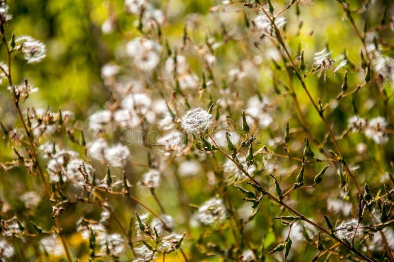 Śródpolny żółty kwiat z ziarnami fotografia royalty free