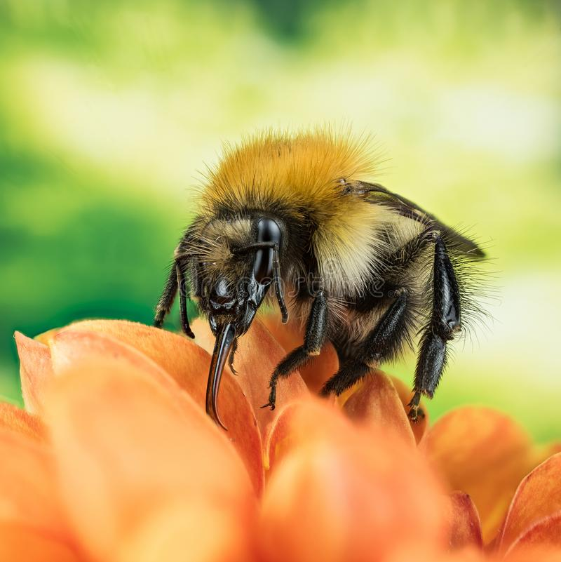 Śródpolny Bumblebee, Pospolity gręplarza Bumblebee, Bumblebee, Dumbledor, Dumbledore obraz stock