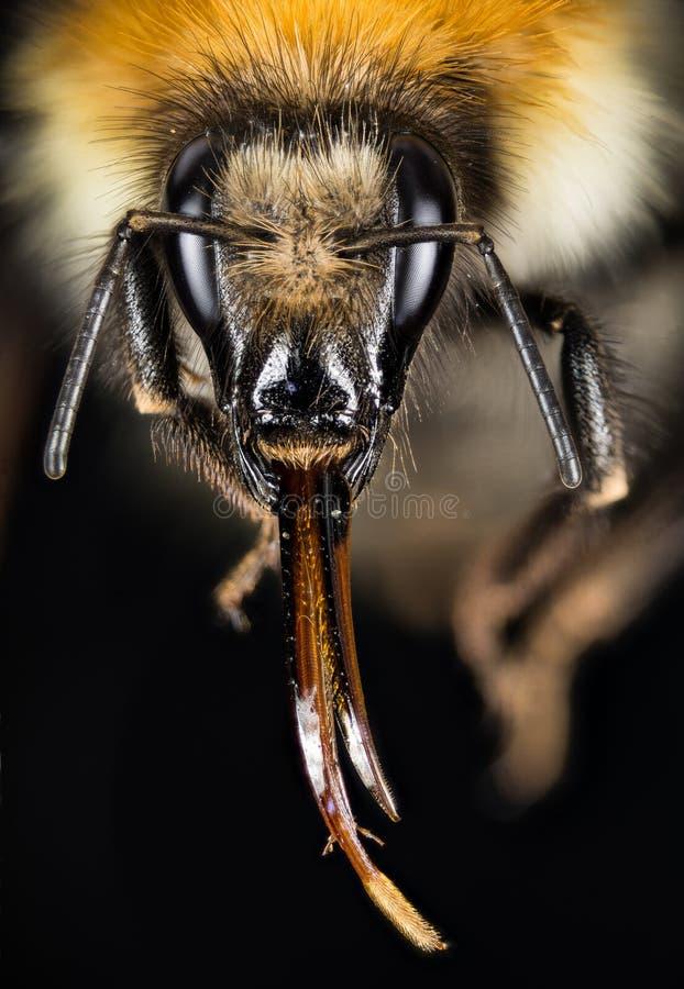 Śródpolny Bumblebee, Pospolity gręplarza Bumblebee, Bumblebee, Dumbledor, Dumbledore zdjęcia royalty free