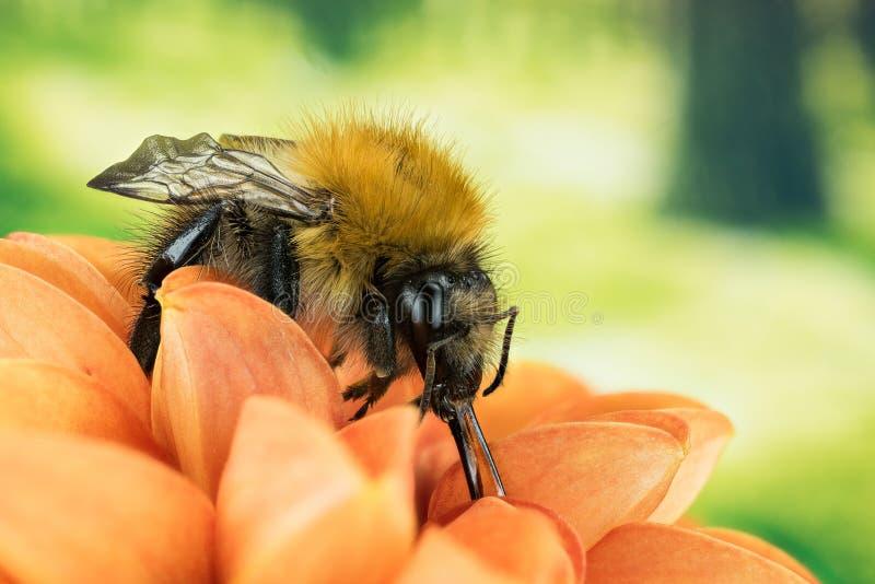 Śródpolny Bumblebee, Pospolity gręplarza Bumblebee, Bumblebee, Dumbledor, Dumbledore zdjęcie royalty free