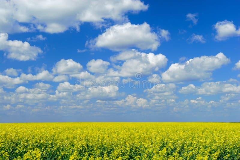 śródpolny canola niebo zdjęcie stock