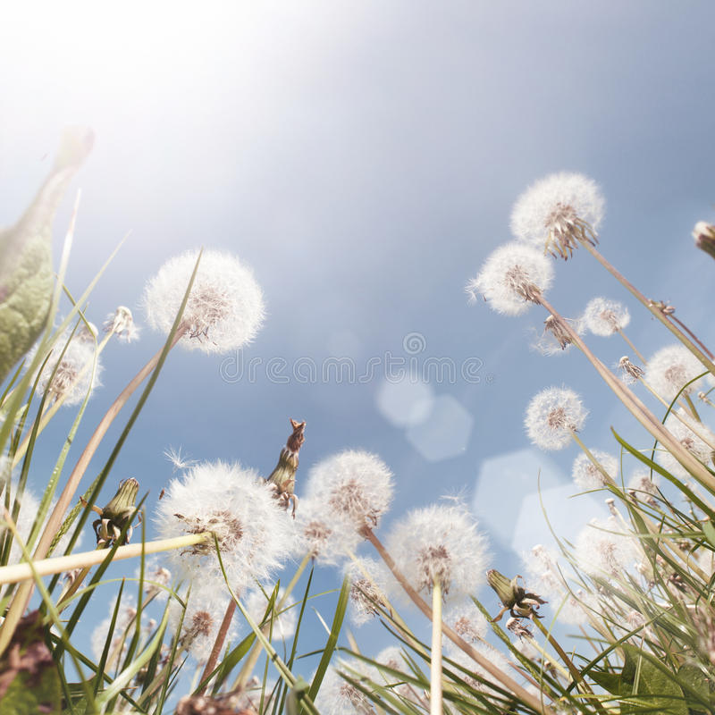 śródpolny dandelion lato obraz royalty free