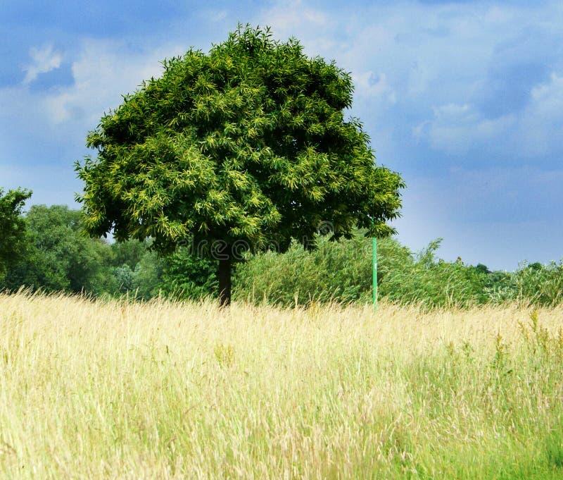 śródpolny drzewo fotografia royalty free