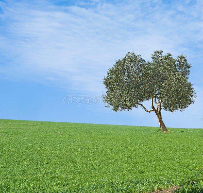 śródpolny drzewo oliwne obrazy stock