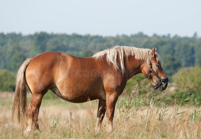 śródpolny koń zdjęcie stock