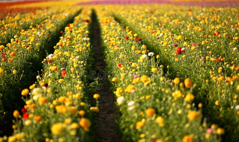śródpolny kwiat fotografia royalty free