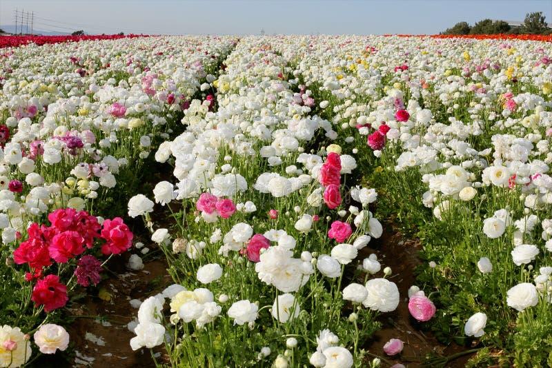 śródpolny kwiat obraz royalty free