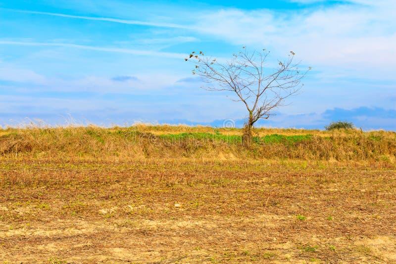 śródpolny osamotniony drzewo zdjęcie stock