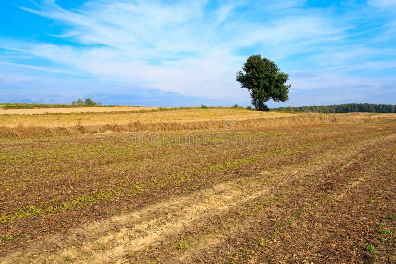 śródpolny osamotniony drzewo zdjęcie royalty free