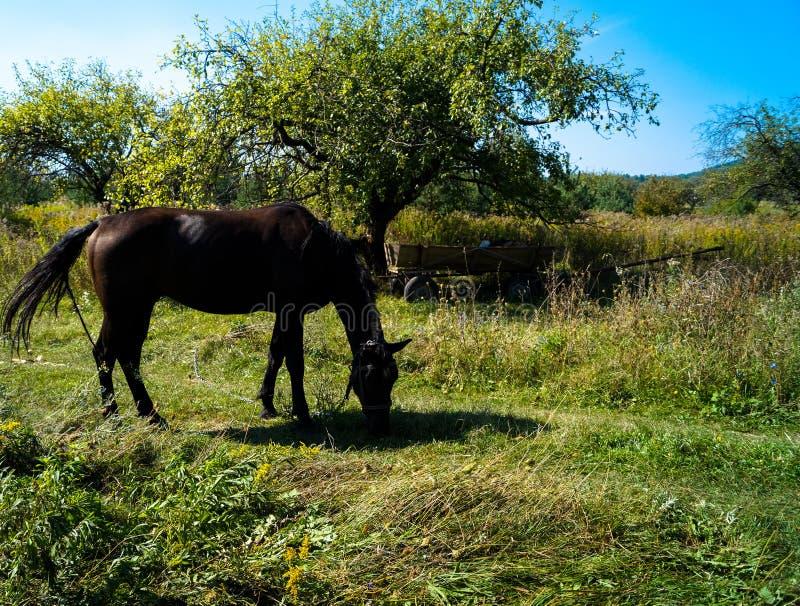 śródpolny pastwiskowy koń zdjęcie royalty free