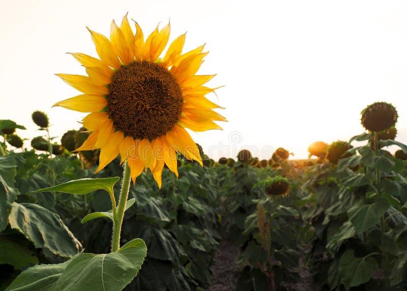 śródpolny słonecznik zdjęcie stock