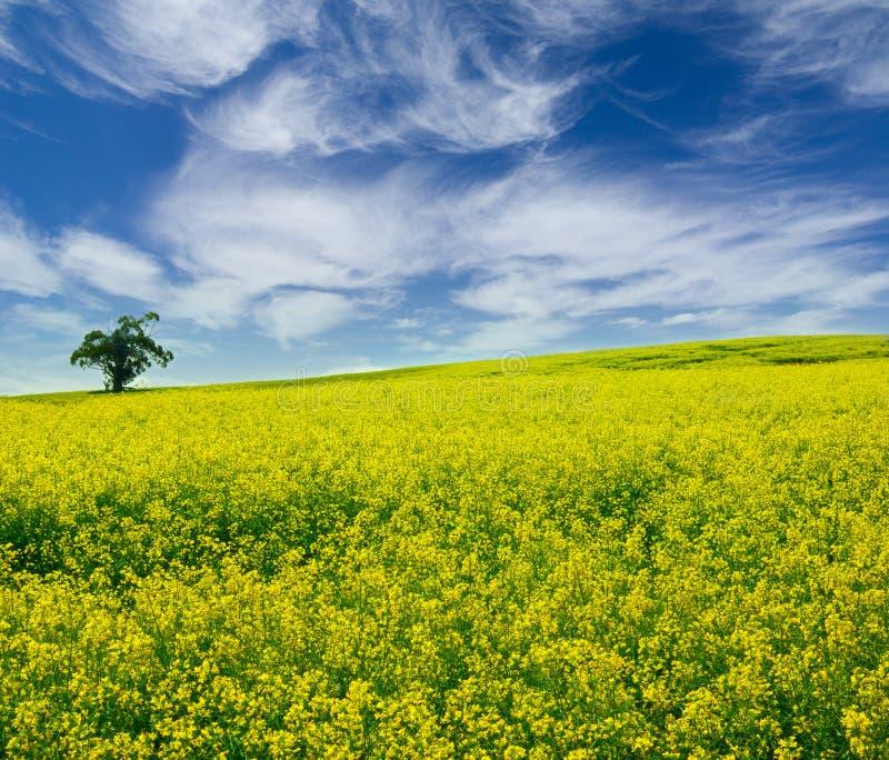 Download śródpolny Samotny Drzewny Kolor żółty Obraz Stock - Obraz złożonej z fielder, miastowy: 13325365