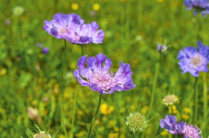 Śródpolnych fiołkowych kwiatów zamknięty up obraz stock