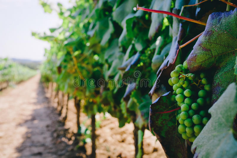 Śródziemnomorscy winogrona zdjęcia royalty free
