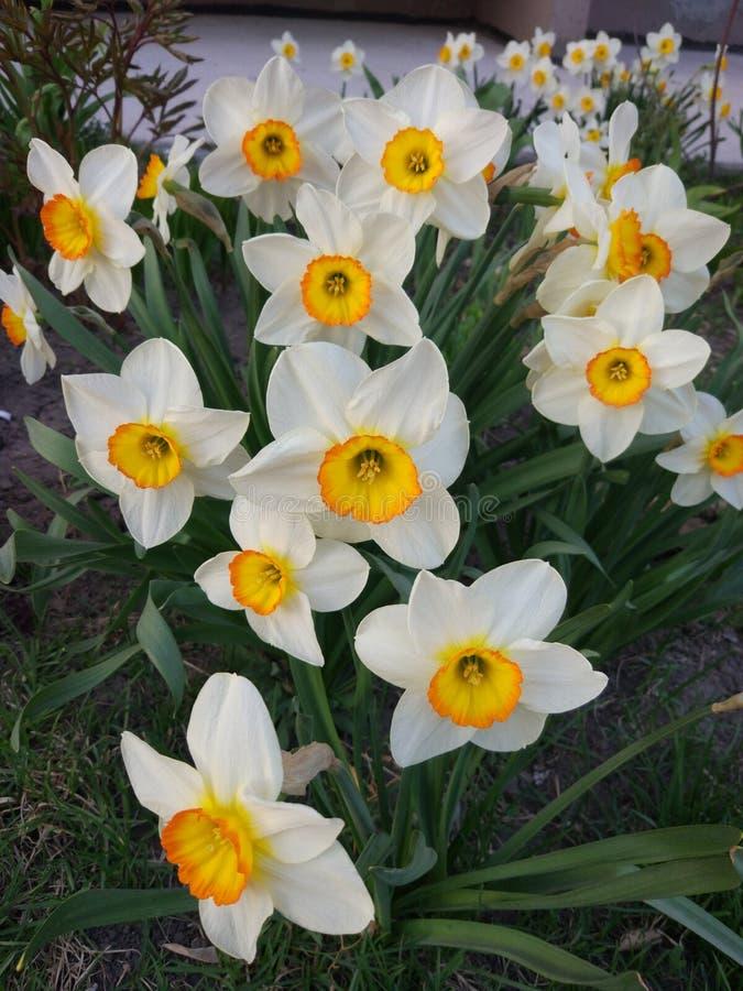 Śródziemnomorscy wiosna narcyza kwiaty fascynują z ich kolorem fotografia stock