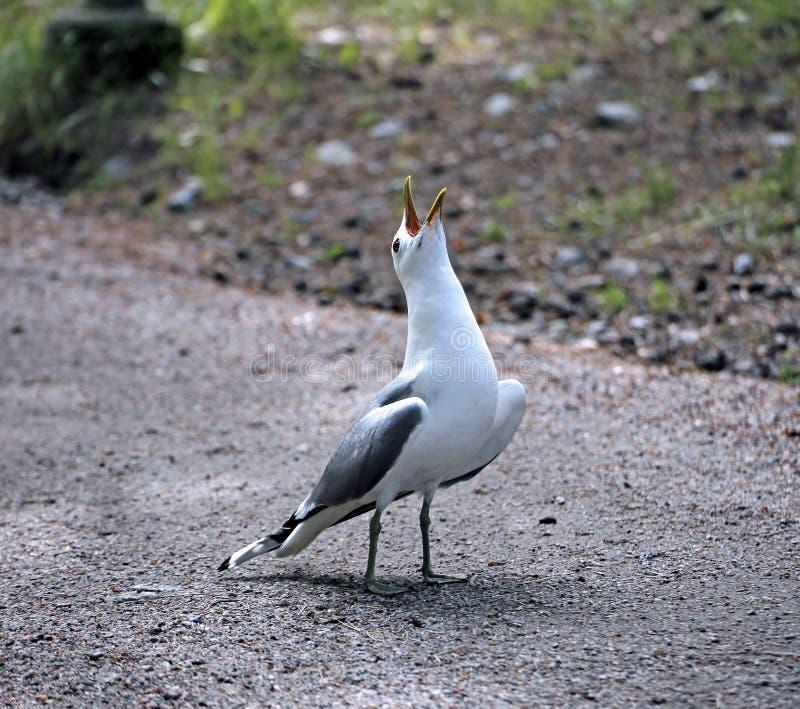 Śródziemnomorski biały seagull obrazy stock