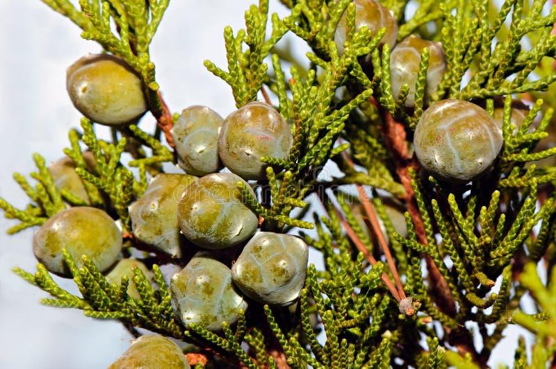 Śródziemnomorski cyprys (Cupressus sempervirens) obrazy royalty free