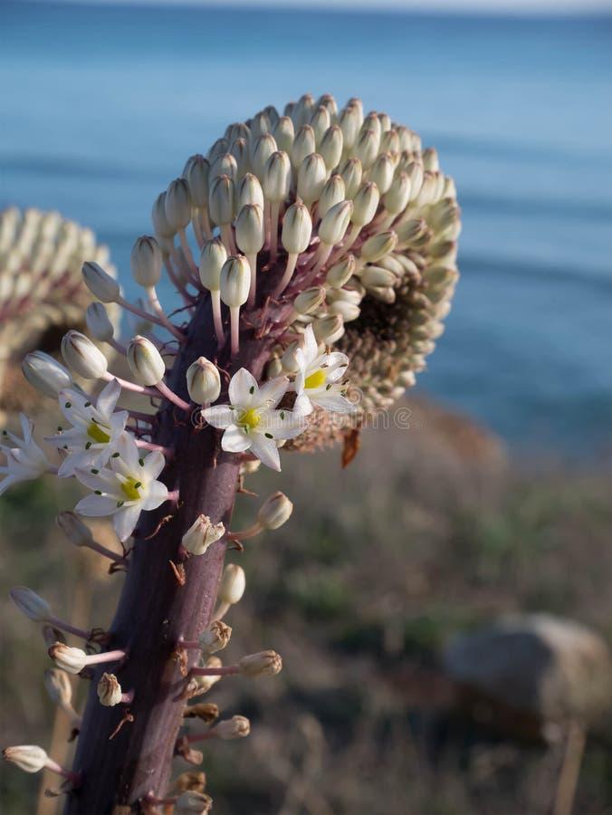Śródziemnomorski dziwny kwiat obrazy royalty free