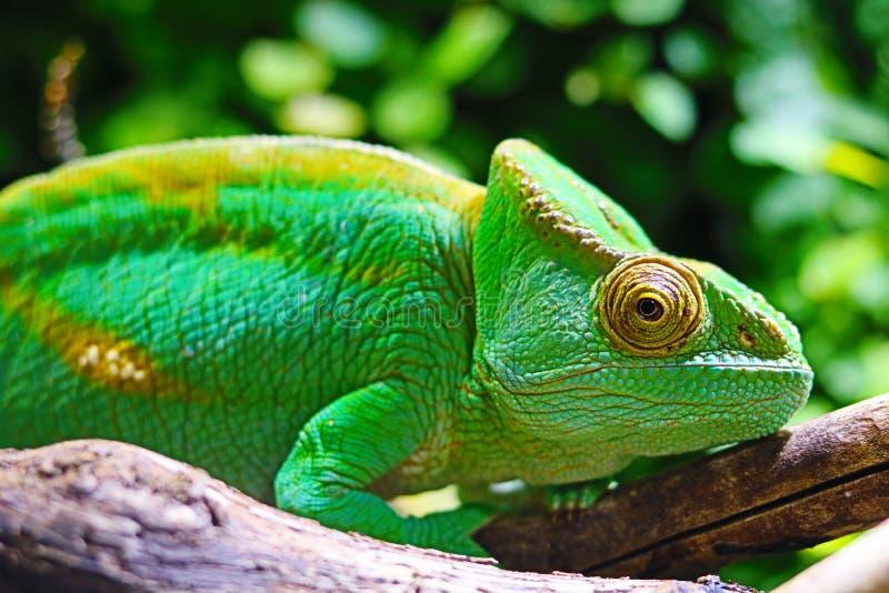 Śródziemnomorski kameleonu zbliżenie - Chamaeleo kameleon fotografia stock