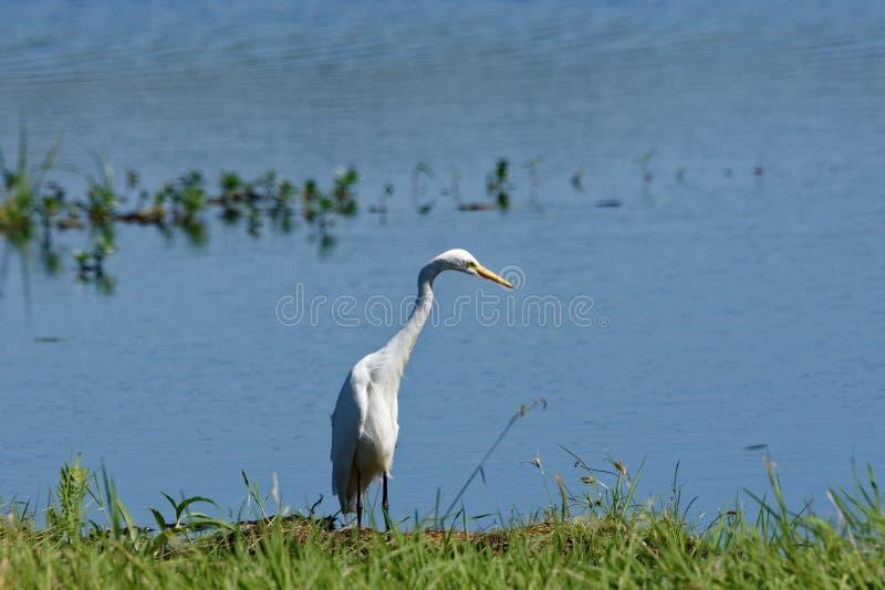 Średni Egret dopatrywanie Dla zdobycza fotografia royalty free