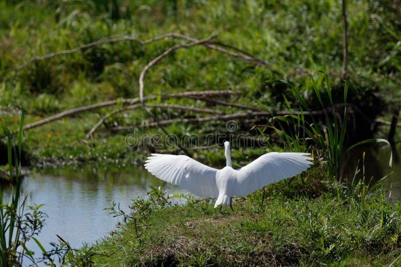 Średni Egret skrzydła Szeroko rozpościerać fotografia stock
