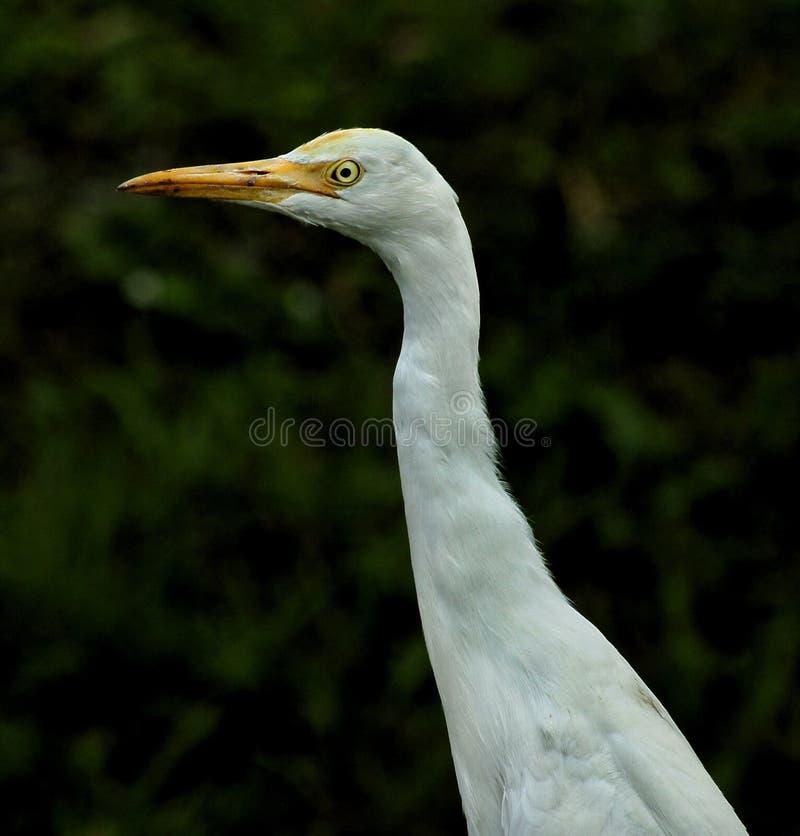 Średni Egret fotografia stock