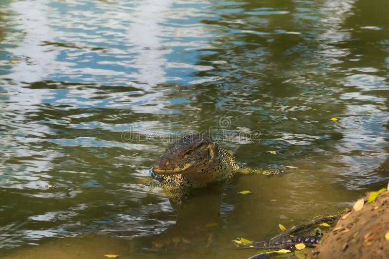 Średniej wielkości, piękna monitor jaszczurka przy krawędzią spowodowany przez człowieka droga wodna bulwar, cieszyć się nawadnia zdjęcia stock