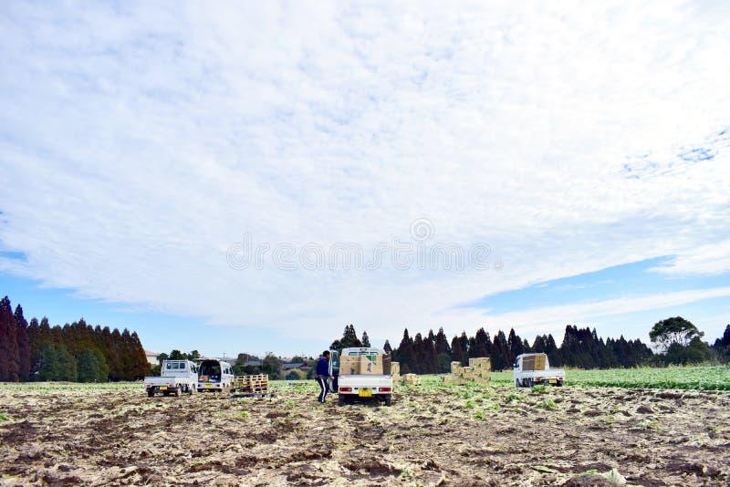 Średniorolna żniwo kapusta w gospodarstwie rolnym z ciężarówkami w Japonia Kagoshima Sakurajima fotografia royalty free