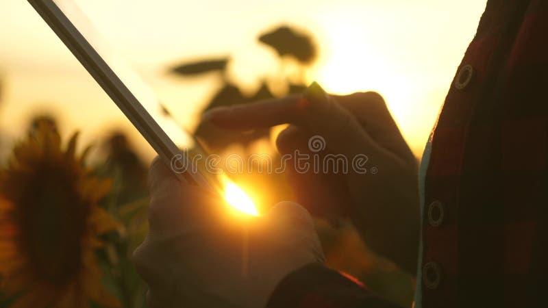 Średniorolna dziewczyna pracuje z pastylką w słonecznikowym polu z bliska żeńskiego agronoma biznesowa korespondencja Biznes obrazy stock