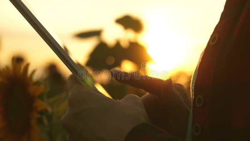 Średniorolna dziewczyna pracuje z pastylką w słonecznikowym polu z bliska żeńskiego agronoma biznesowa korespondencja Biznes obraz royalty free