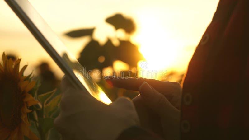 Średniorolna dziewczyna pracuje z pastylką w słonecznikowym polu z bliska żeńskiego agronoma biznesowa korespondencja Biznes obrazy royalty free