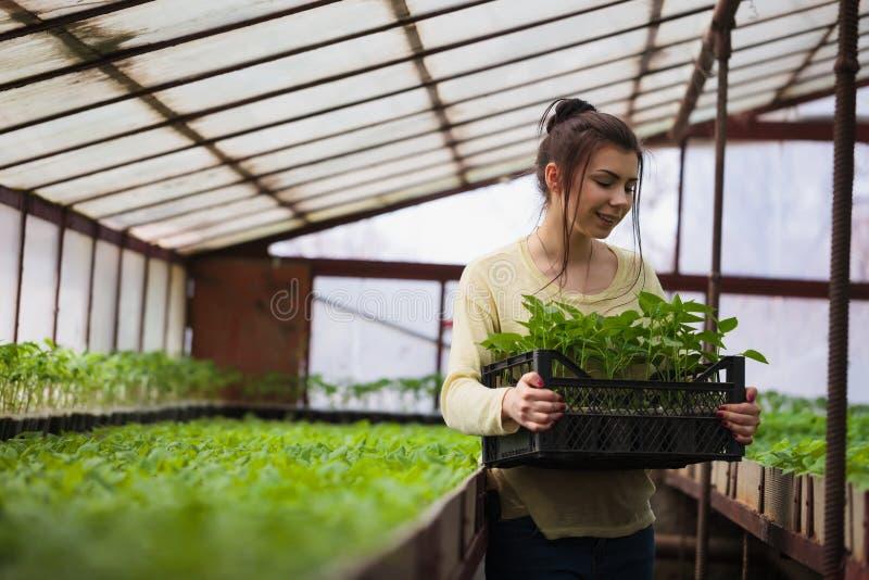 Średniorolna dziewczyna trzyma pudełko zielone rozsady w szklarni zdjęcia royalty free