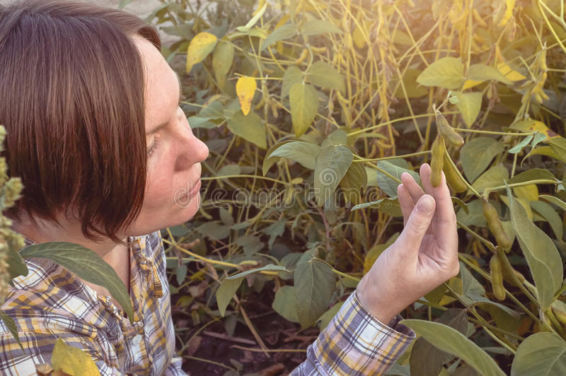 Średniorolna egzaminacyjna soi roślina w polu zdjęcie royalty free