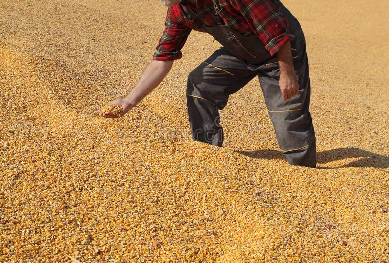 Średniorolna i kukurydzana uprawa zdjęcia royalty free