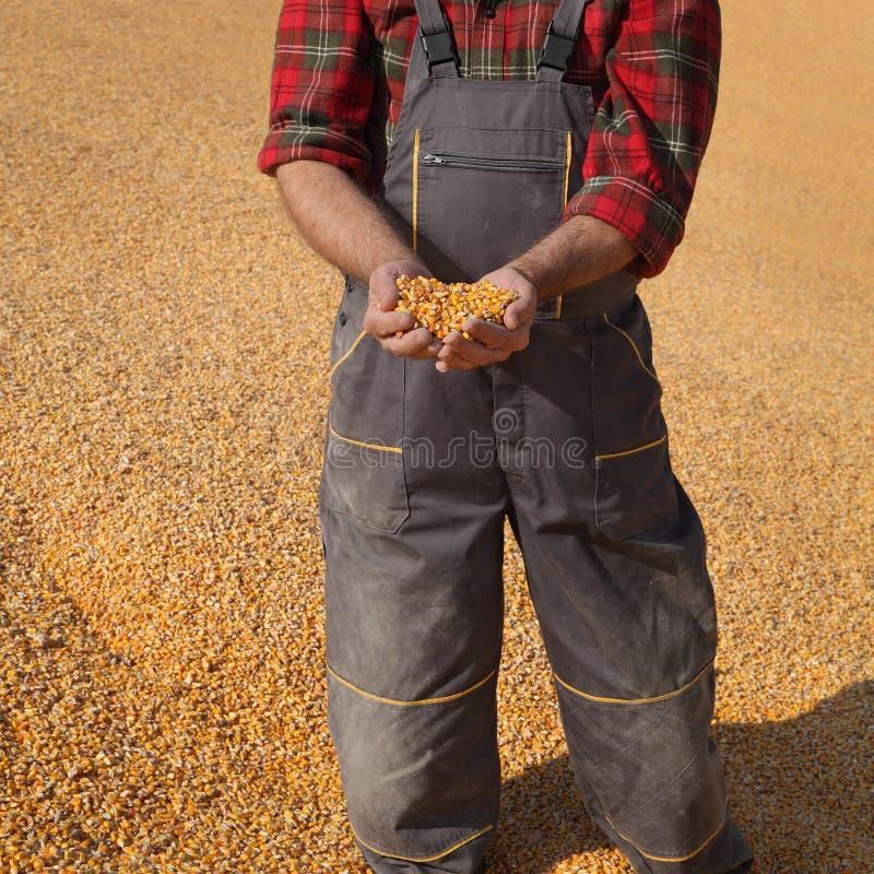 Średniorolna i kukurydzana uprawa obraz royalty free