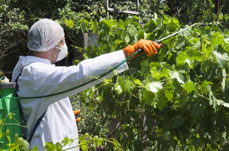 Średniorolna jest ubranym specjalna nakrętka, respirator, biel pestycydy pompową natryskownicą w winnicy, jednolici i sparying zdjęcie stock