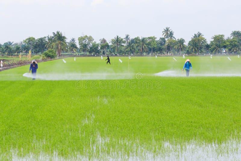 Średniorolna kiść użyźniacz w ryż odpowiada fotografia royalty free