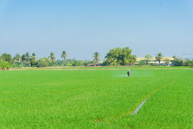 Średniorolna praca w ryżowej plantaci dla kiść użyźniacza fotografia stock