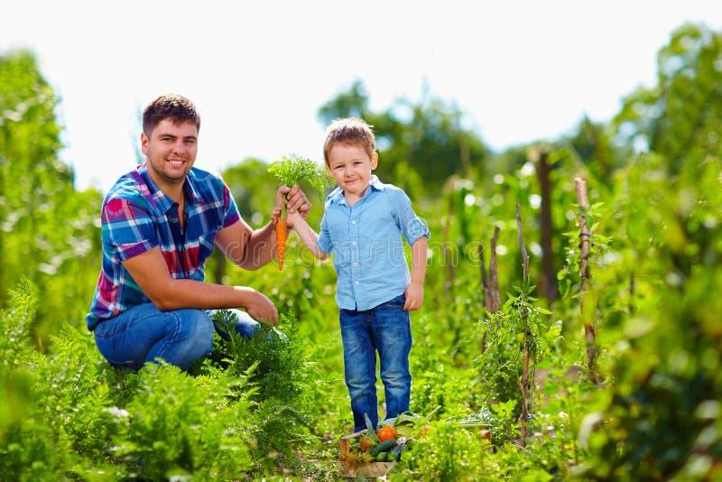 Średniorolna rodzina zbiera warzywa w ogródzie obraz royalty free