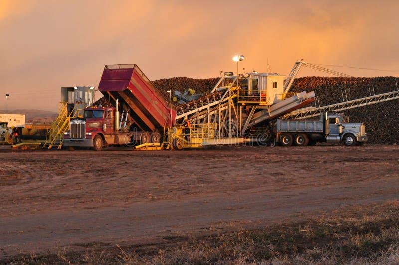 Średniorolna rozładunkowa sugarbeet ciężarówka na piler przy ćwikłowym usypem zdjęcie royalty free