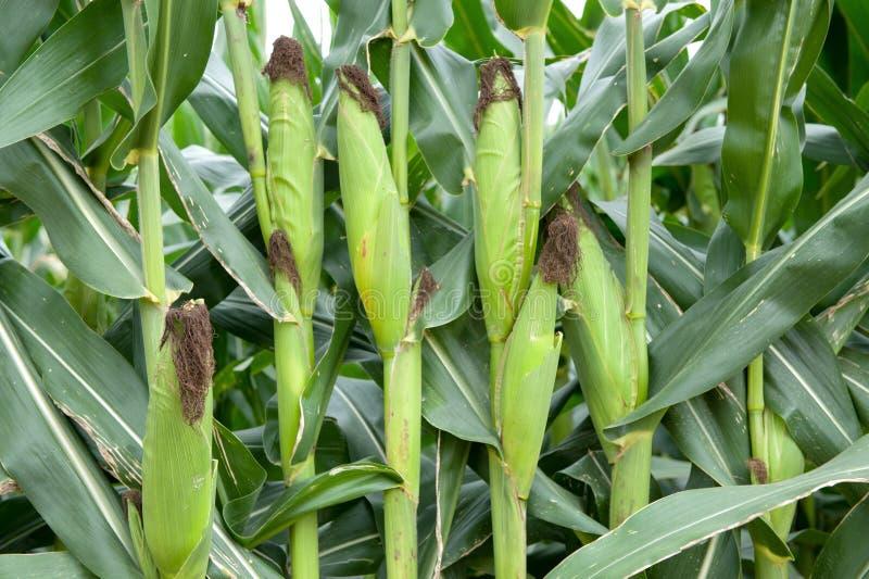 Średniorolna sprawdza kukurydzana uprawa zdjęcia stock